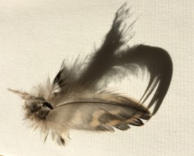 Peregrine feather