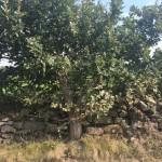 Walled oak