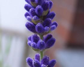 Lavendel_Lavandula